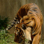 Tiger – Washington Zoo - DileVale