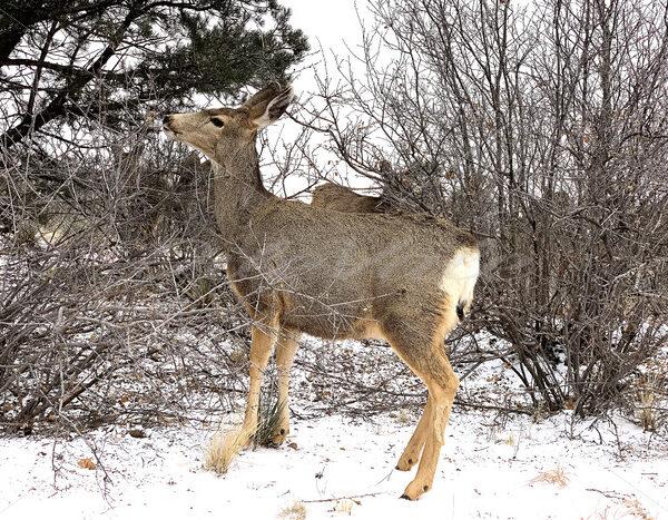 Deer – Colorado Springs - DileVale