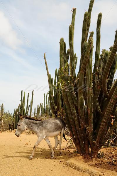 Donkey Sanctuary – Aruba - DileVale
