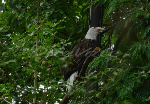 Eagle – Washington Zoo - DileVale