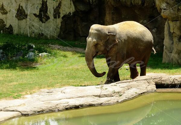 Elephant – Washington Zoo - DileVale