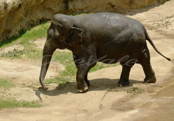Elephant – Washington Zoo - DileVale