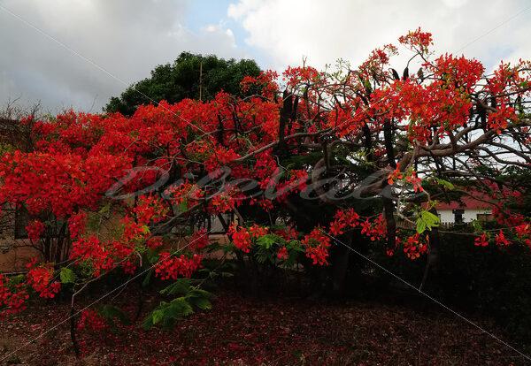 Flamboyant Tree – Aruba - DileVale