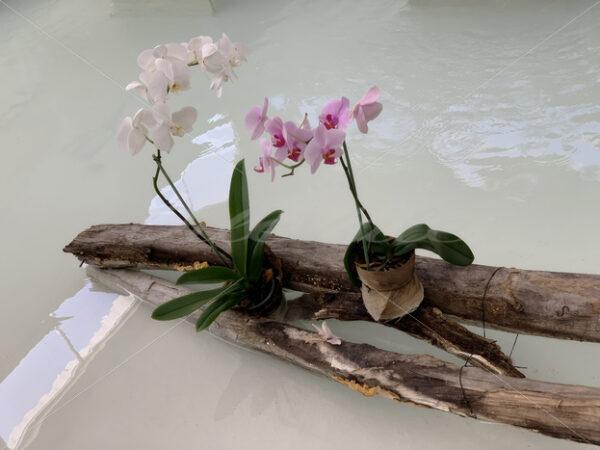Ornamental Plant – Riviera Maya – Mexico - DileVale