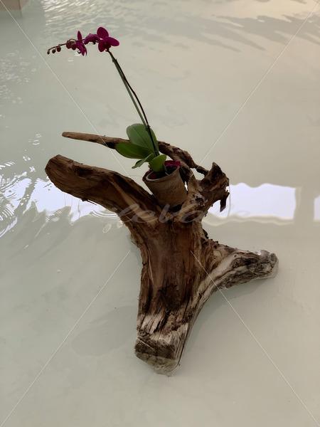 Ornamental Plant – Riviera Maya  Mexico - DileVale