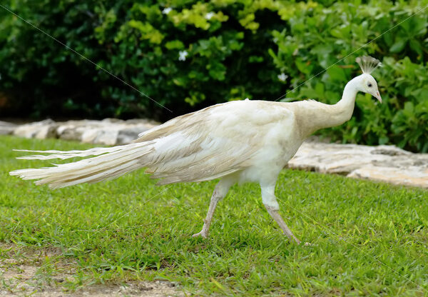 Peacock – Cancun - DileVale