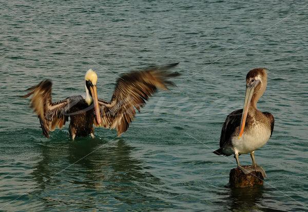 Pelican – Aruba - DileVale
