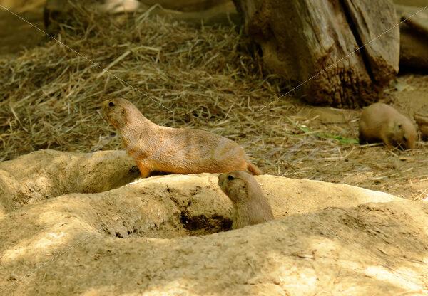 Prairie Dog – Washington Zoo - DileVale