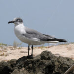 Seagull – Aruba - DileVale