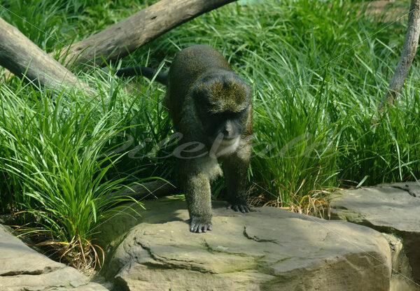 Swamp Monkey – Washington Zoo - DileVale
