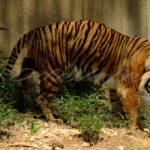 Tiger – Washington Zoo - DileVale