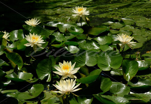 Water Lilies – Washington Zoo - DileVale