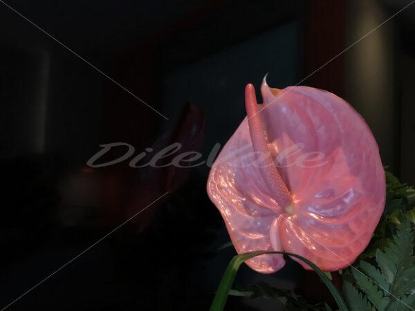 Flamingo Flower – Punta Cana - DileVale