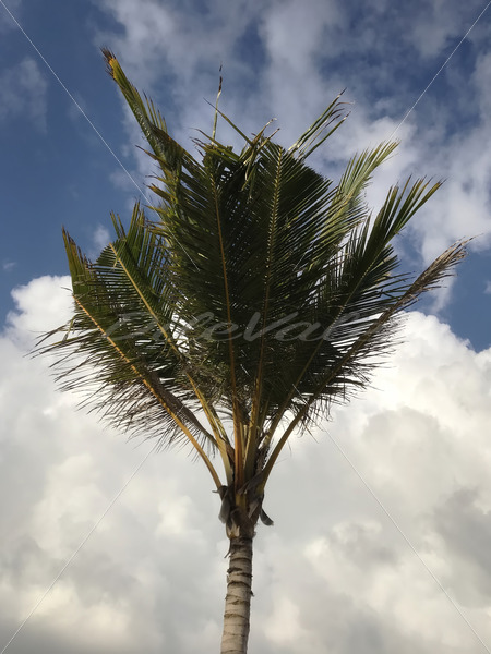 Palm Tree – Punta Cana - DileVale